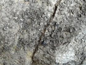 Crinoid pieces in limestone