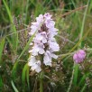 Location 3, Early Purple Orchid