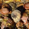 A beautiful ammonite in situ at Tidmoor Point, Dorset.