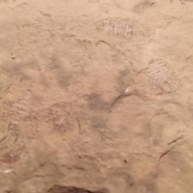 archaeoniscus-brodiei_2
