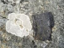 Large Stigmaria ficoides chunk