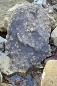 Many fresh, well preserved brachiopods on shale