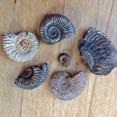 Ammonites from Tidmore Point, Dorset
