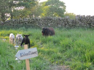 sheep outside elderflower