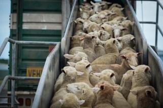 animal transport eu law