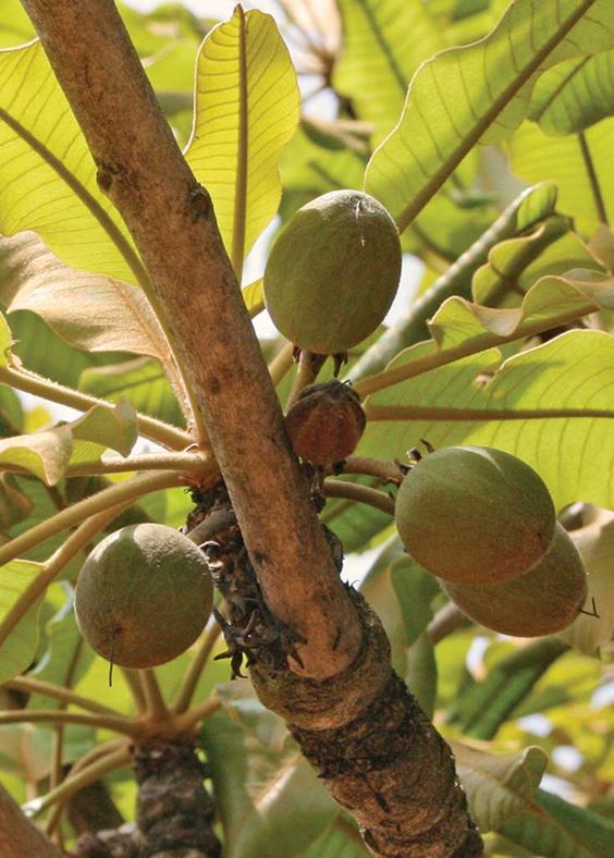 One of the top 5 healing benefits of shea butter