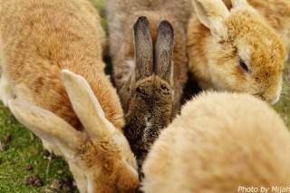 ウサギ島04