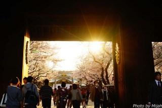 靖国神社・桜01