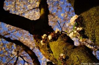 靖国神社・桜07