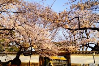 靖国神社・桜14