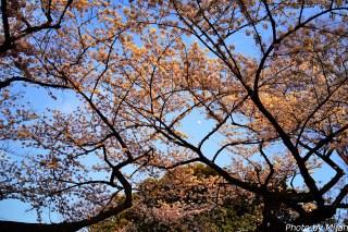 靖国神社・桜19