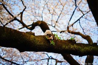 靖国神社・桜17