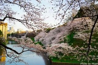 靖国神社・桜20
