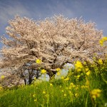 岐阜羽島・境川 ~菜の花と桜の穴場的スポット~