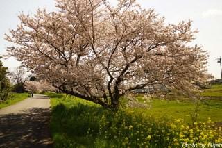 境川・桜03