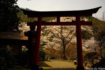 白龍園・桜13