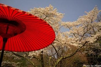 白龍園・桜06
