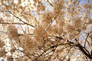 多治見・桜17