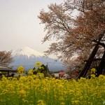狩宿(かりやど)の下馬桜 ~桜と菜の花と富士山~