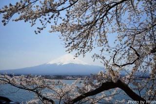 河口湖・桜11