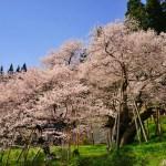 臥龍桜(がりゅうざくら) ~飛騨一ノ宮の龍の如き大桜~