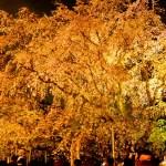 六義園、桜のライトアップ ~都内で大迫力のしだれ桜を鑑賞~