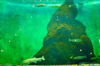 salmon-museum04