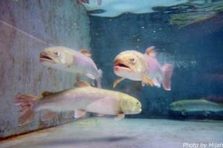salmon-museum06