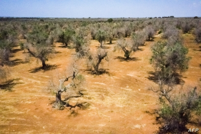 FILE - Olive trees infected with a disease called Xylella fastidiosa are seen near Gallipoli in the Salento peninsula, in Apuglia, southern Italy, June 20, 2019.