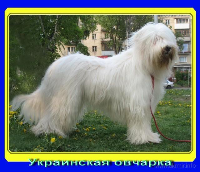 В коллаже использовано фото с сайта питомника «BLAN-de-BLAN» ( Киев, Украина)