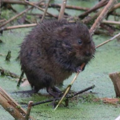 A Portbury Wharf water vole having breakfast in the rhyne