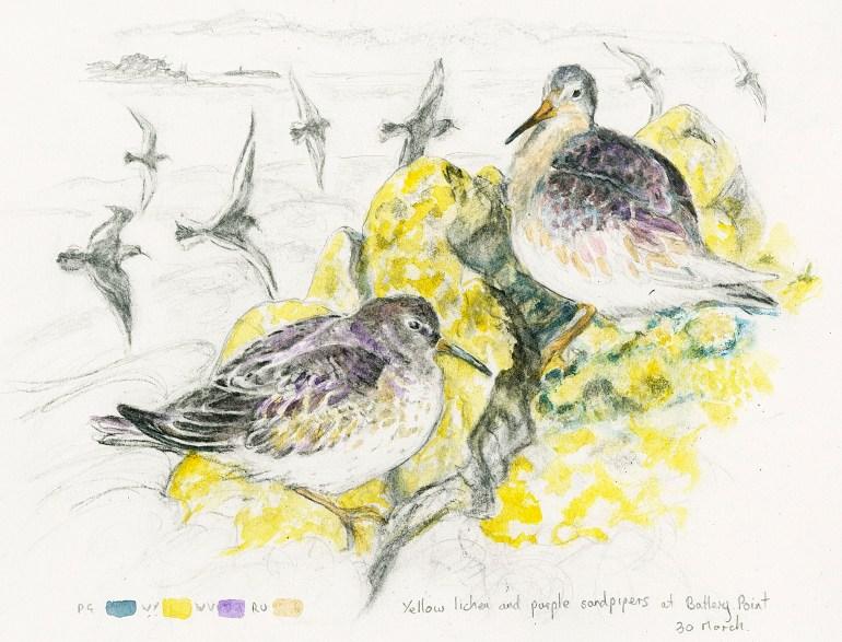 yellow lichen and purple sandpipers