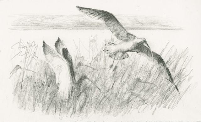 salt marsh curlews
