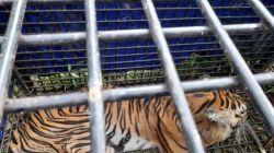 Harimau Sumatera Terkam 2 Warga Jambi Berhasil Ditangkap