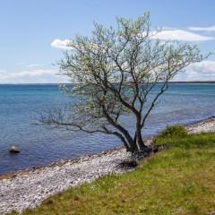 Strandträd