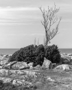 Stenträd
