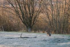 Hare i solsken vid Rocksjön