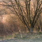 Träd vid Rocksjön