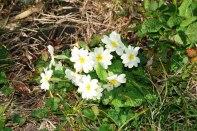 Primula-vulgaris-–-Flor-de-San-José---Uliako-mintegiak