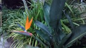 Strelitzia-reginae-viveros-de-ulia-ave-del-paraiso2