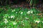 primulas-vulgaris-uliako-mintegien-parkea4