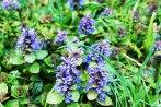 prunella_vulgaris-parque-viveros-de-ulia