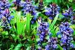 prunella_vulgaris-parque-viveros-de-ulia2