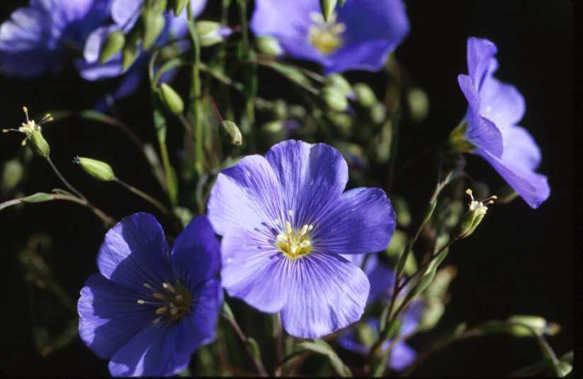Flax flowering