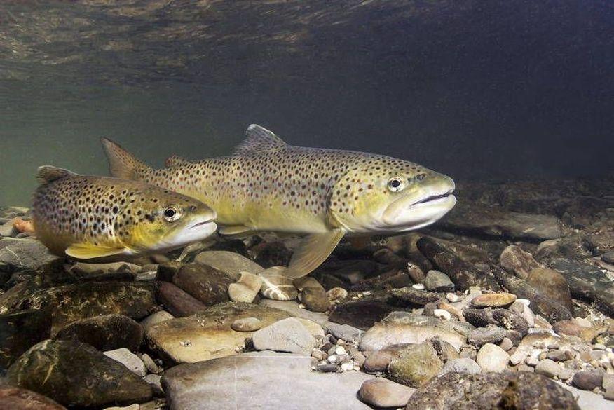 Peixes ficam viciados com metanfetamina que chega aos rios, mostra estudo