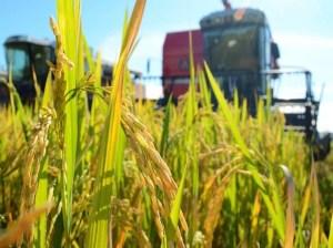 En Monagas preparan la siembra de 30 mil hectáreas de maíz y arroz