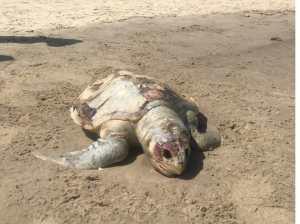 A loggerhead turtle appears dead on Lechería beach