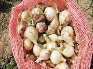 Guárico inicia cosecha de más de 40 millones de kilos de cebolla