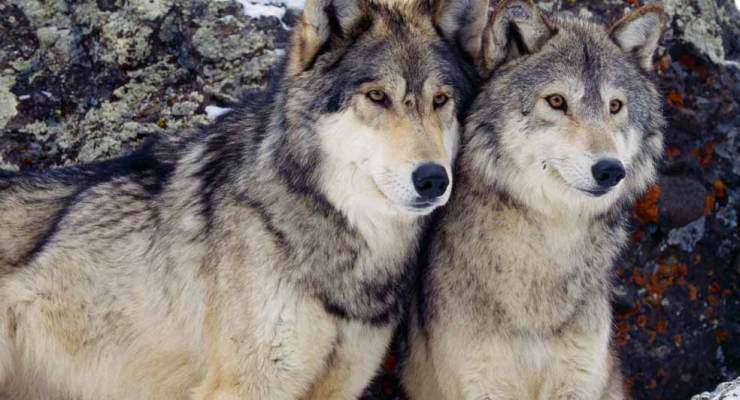 Ultraculture | Gray Wolves