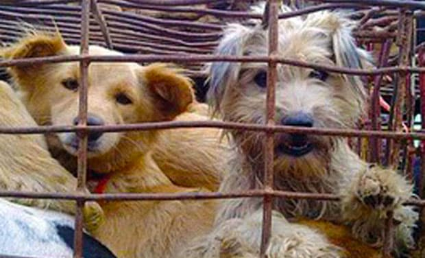Dogs in Cages in China, On Way to Becoming Meat